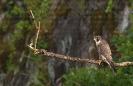 Falcón pelegrín (Falco peregrinus).