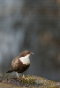 Merlo rieiro (Cinclus c.).