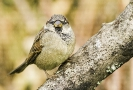 Pardal común (Passer domesticus).