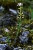 Aethionema monospermum.