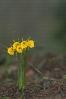 Amarelle (Narcissus bulbocodium).
