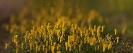 Amarelle (Narcissus cyclamineus).