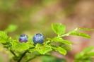 Arandeira ou herba dos arandos (Vaccinium myrtillus).