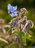 Borraxe ou borraxa (Borago officinalis).