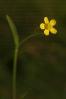 Bugallón (Ranunculus flammula).
