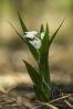 Chaveiro branco (Cephalanthera longifolia).