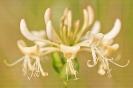 Chuchameles ou saltasebes (Lonicera periclymenum).