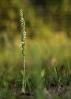 Espiral de outono (Spiranthes spiralis).