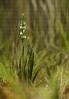 Espiral de verán (Spiranthes aestivalis).