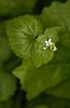 Herba alleira (Alliaria petiolata).