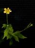 Herba caraveleira ou de San Bieito (Geum urbanum).