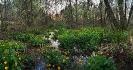 Herba centella ou bugallón (Caltha palustris).