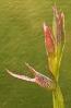 Lengüeira ou crista de galo (Serapias lingua) baixo a choiva.