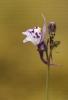 Linaria amethystea