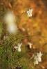 Amarelle (Narcissus triandrus).