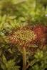 Orballiña (Drosera rotundifolia)