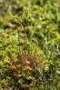 Orballiña (Drosera rotundifolia).