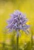 Orquídea do home morto (Orchis italica).
