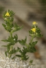 Paxariños (Linaria arenaria).