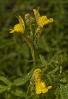 Paxariños (Linaria saxatilis).