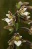 Raíña das xunqueiras (Epipactis palustris).