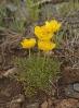 Ranunculus paludosus.
