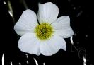 Ranunculus penicillatus.