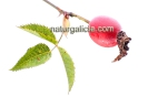 Escaramuxo de silva macho ou agavanzo (Rosa canina).