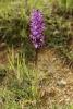 Satirión morado (Orchis mascula).