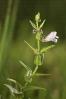 Scutellaria minor.