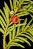 Teixo (Taxus baccata).