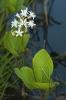 Trevo de auga (Menyanthes trifoliata).