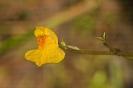 Utricularia australis.
