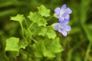 Tapiceira (Wahlenbergia hederacea).