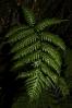 Woodwardia radicans.