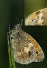 Bolboreta Coenonympha pamphilus parasitada.