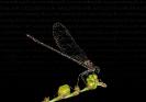 Gaiteiro vermello (Calopteryx haemorrhoidalis).