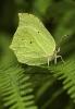 Gonepteryx rhamni.