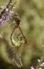 Lavacú sanguiño (Sympetrum sanguineum).