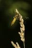 Libélula azuleira (Libellula depressa).