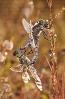 Libélula de cu negro (Orthetrum cancellatum).