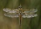 Libélula maculada (Libellula quadrimaculata)