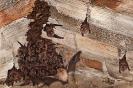 Colonia de morcego de ferradura grande (Rhinolophus ferrumequinum).