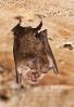 Morcego de ferradura grande (Rhinolophus ferrumequinum).