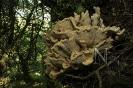 Laetiporus sulphureus.